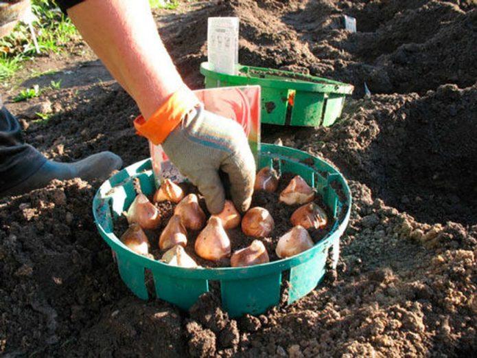 Посадка тюльпанов в контейнер для луковичных