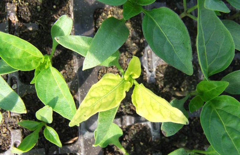 Пожелтение листьев у перца