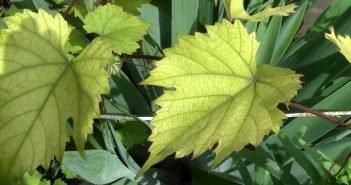 Пожелтение листьев винограда