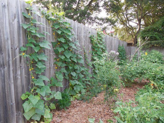 Огурцы на заборе
