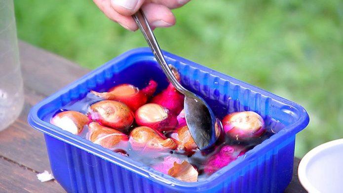 Протравливание луковиц в растворе марганцовки