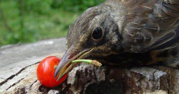 птица естт ягоду