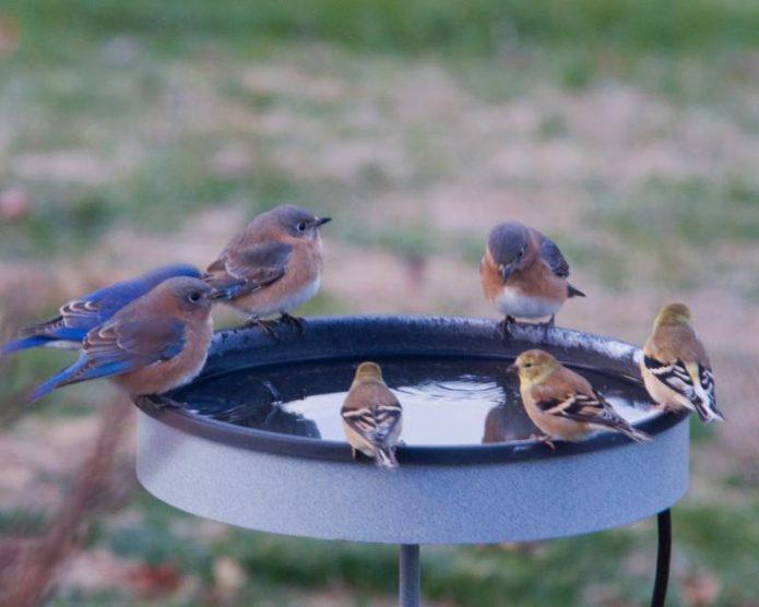 Птицы пьют воду