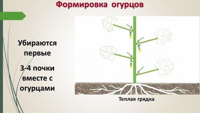 Схема формировки огуречной плети