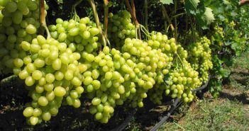Виноград на капельном поливе