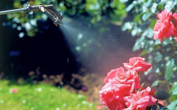 Внекорневая подкормка роз
