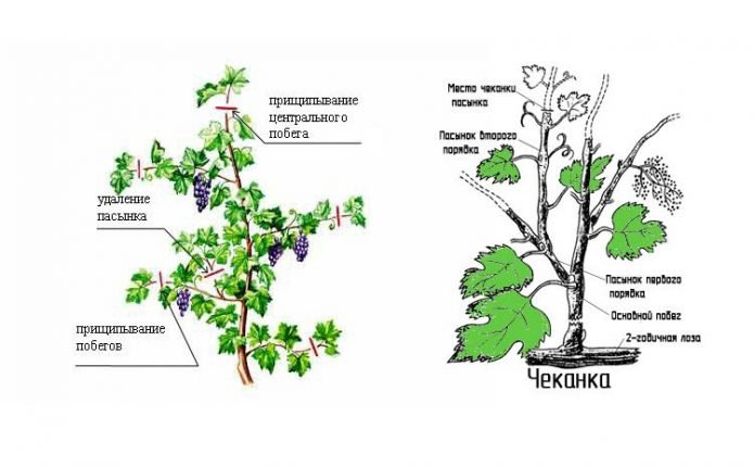 Виды зелёных операций на винограде