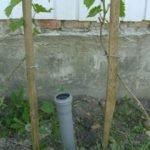 Полив винограда через дренажную трубу