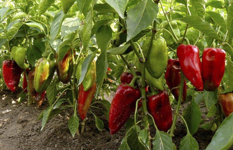 Болгарский перец в период созревания плодов