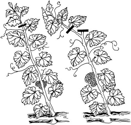 Чёрно-белый рисунок побегов винограда
