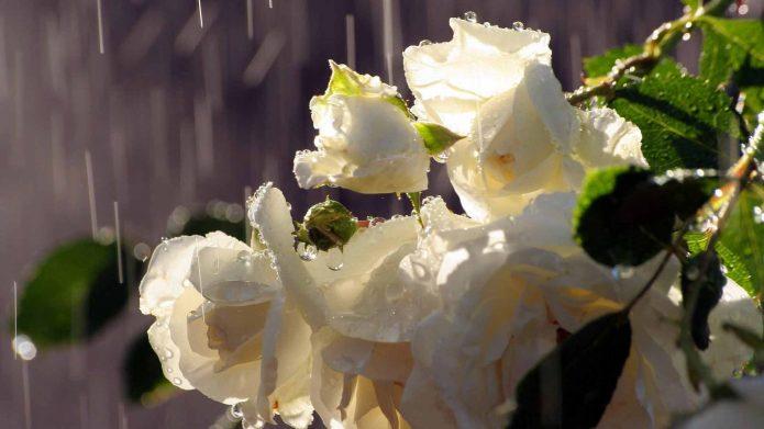 Цветочная кисть розы под дождём