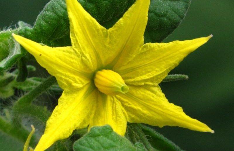 Цветок томата
