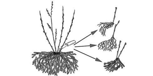 Размножение ежевики делением куста