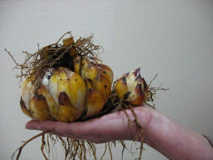 Гнездо лилий