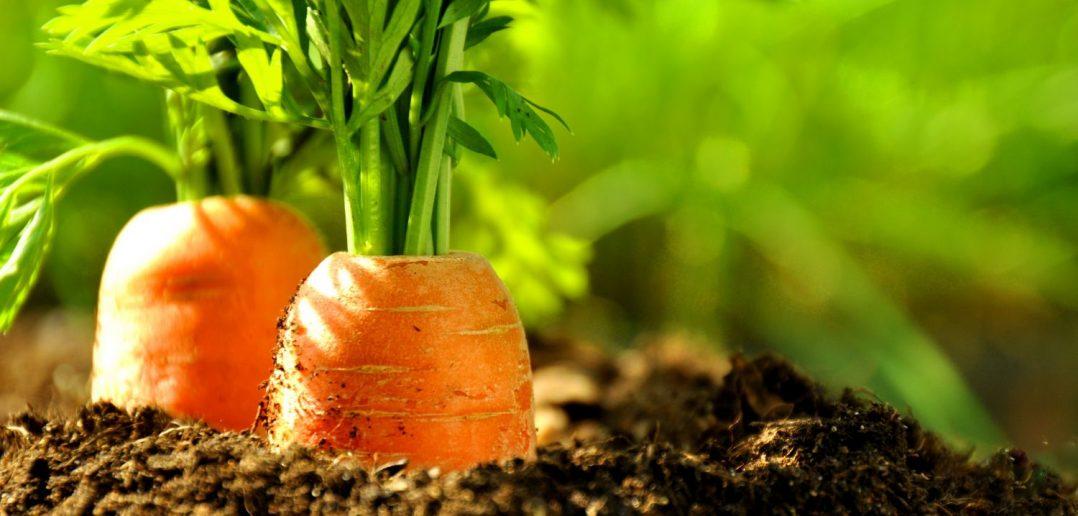 грядка моркови