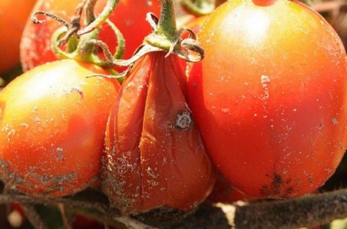 Мокрая гниль на помидорах