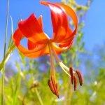 Карликовая лилия