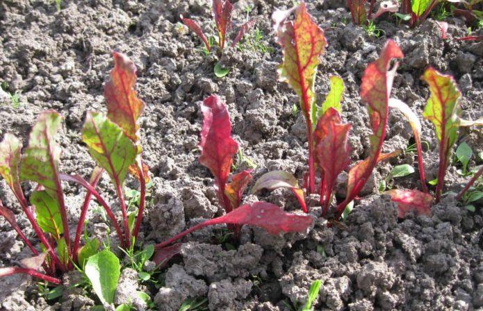 Красные листья у свёклы