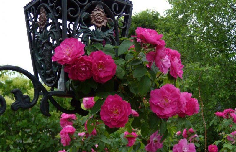 Куст розы на фоне фонаря