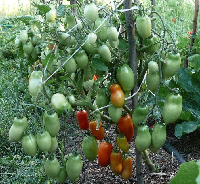 Куст томата, усыпанный плодами