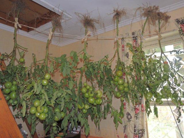 Кусты томатов, подвешенные для дозревания