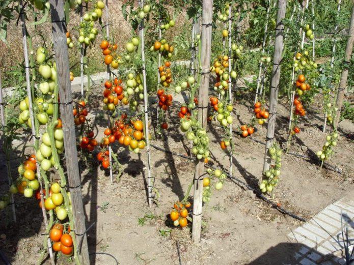Кусты томатов с обрезанными листьями