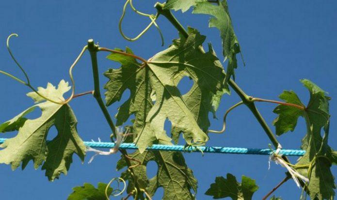 Лозы винограда после чеканки