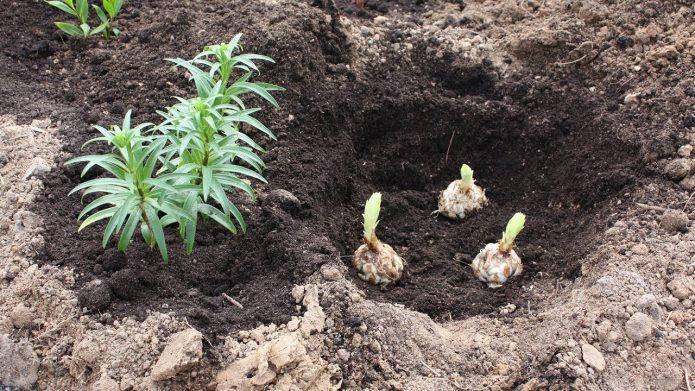 Луковицы в лунке