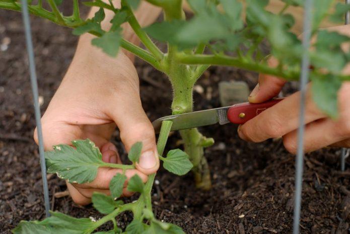 Обрезка лишних листьев томатов