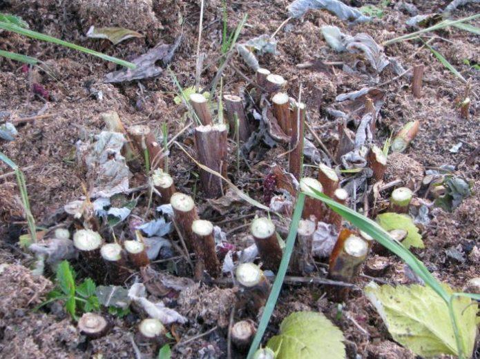 Обрезка ремонтантной малины осенью