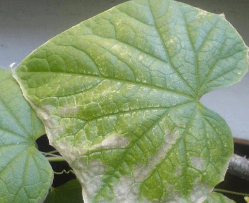 Ожог на листовой пластине кабачка