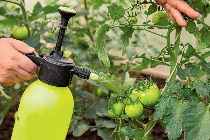 Опрыскивание помидоров раствором бриллиантового зелёного