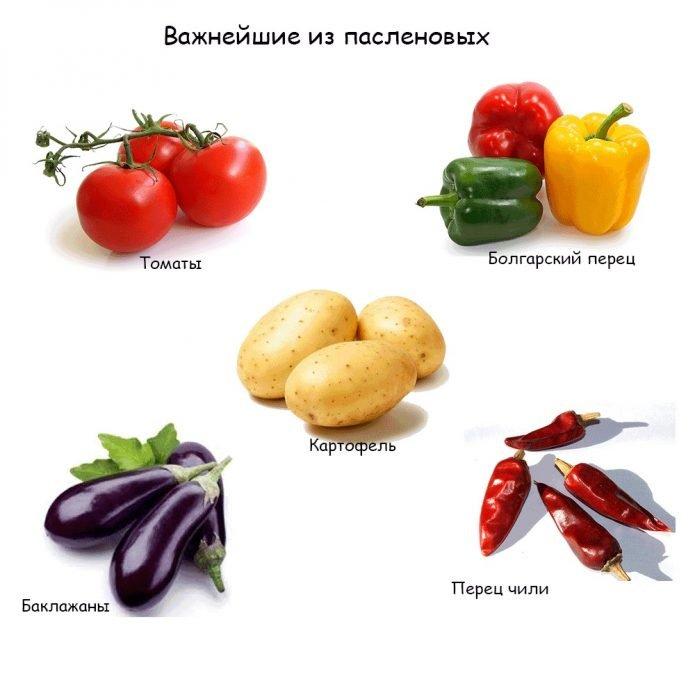 овощи семейства паслёновые
