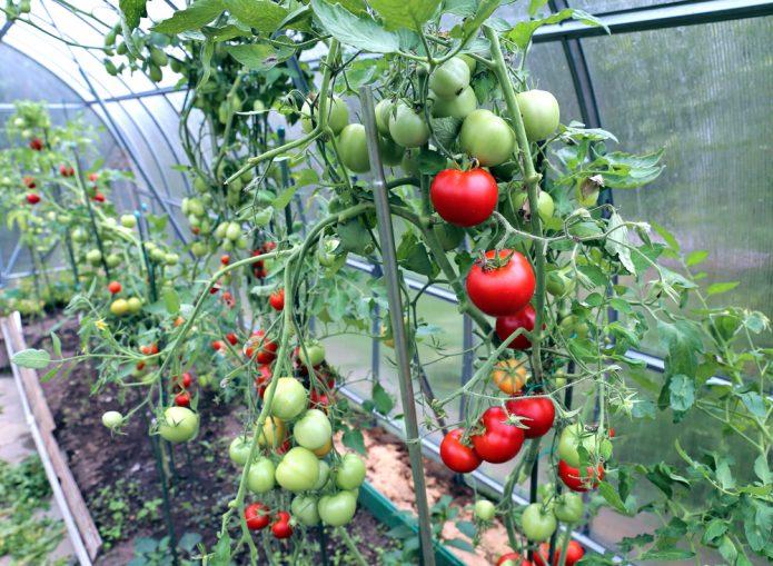 Плодоносящие томаты в теплице
