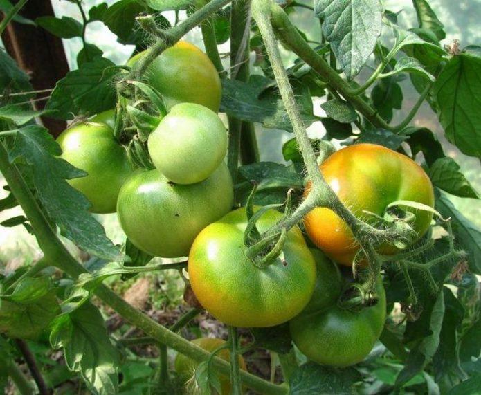 Побуревшие томаты