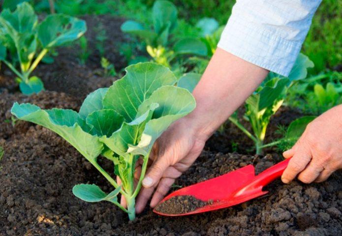 Подкормка брокколи и рыхление почвы