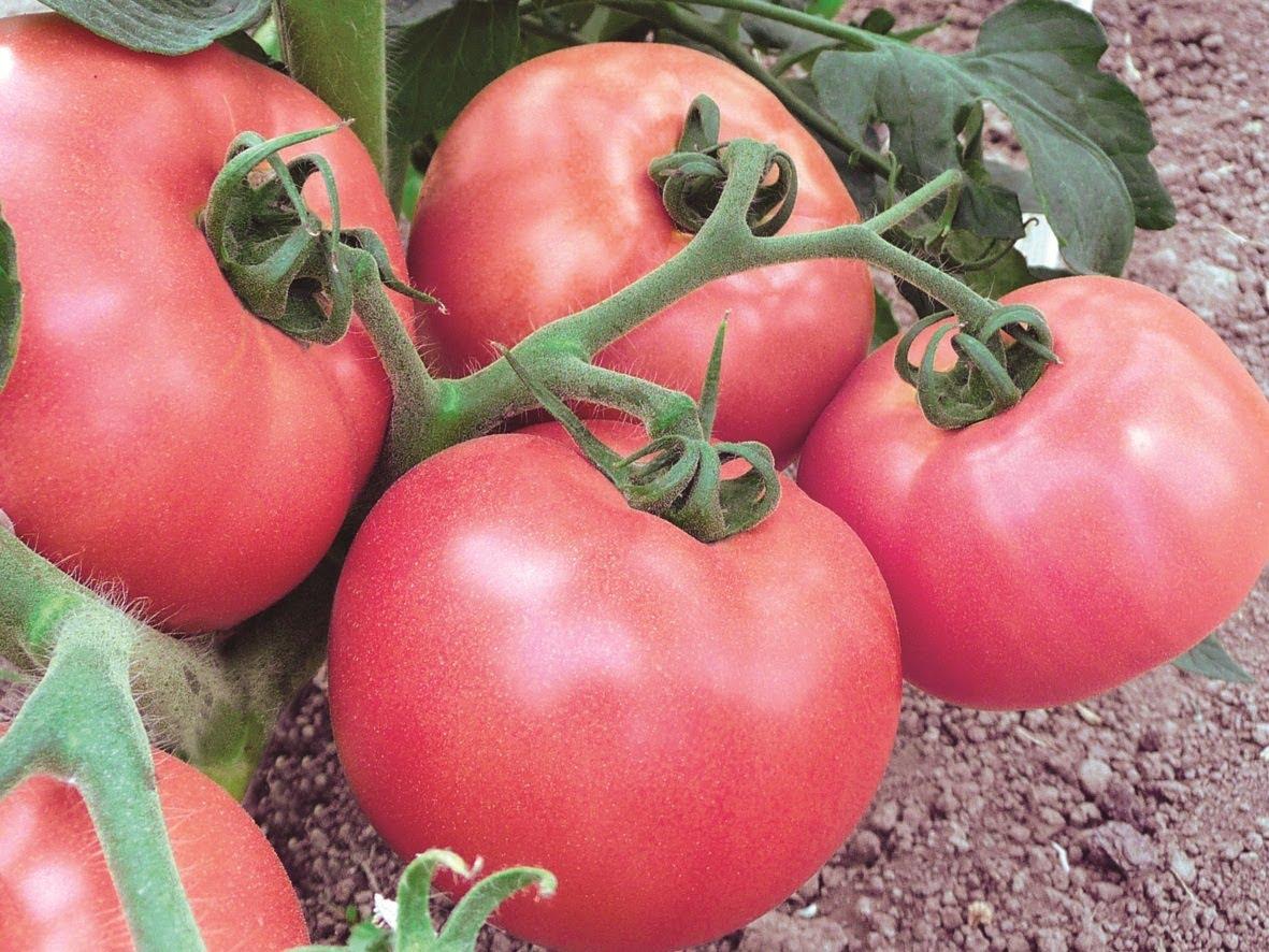 Способы ускорения созревания помидоров