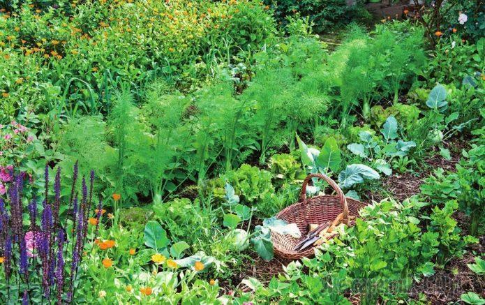 Посевы в августовском огогороде