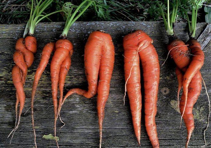 Разветвлённые корнеплоды моркови