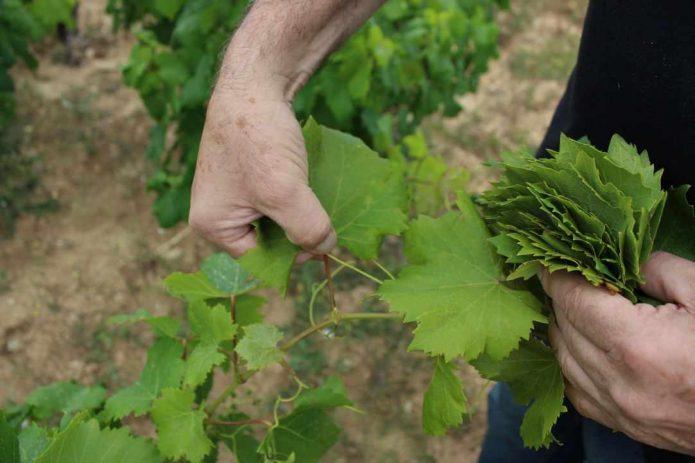 Руки мужчины, который срывает виноградные листья