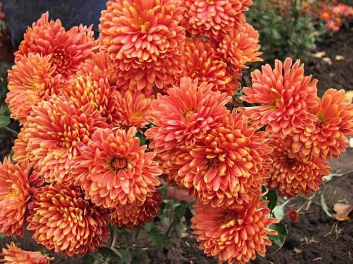 Сорт хризантемы Кореянка