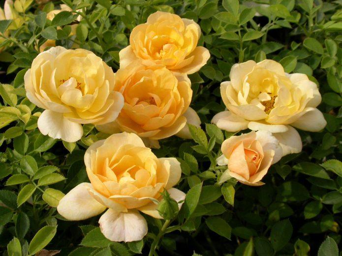 Сорт розы Amber Cover
