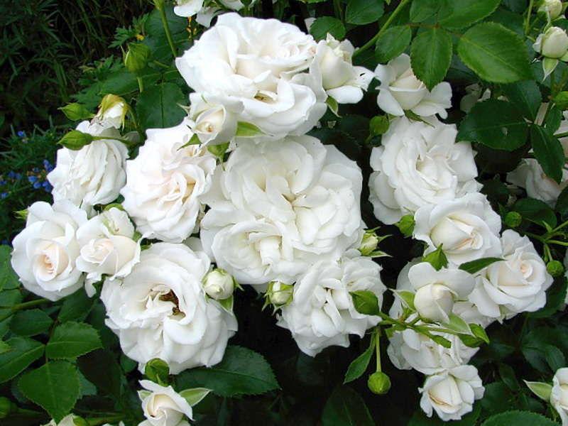 Сорт розы Aspirin