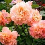 Сорт розы Augusta Louise