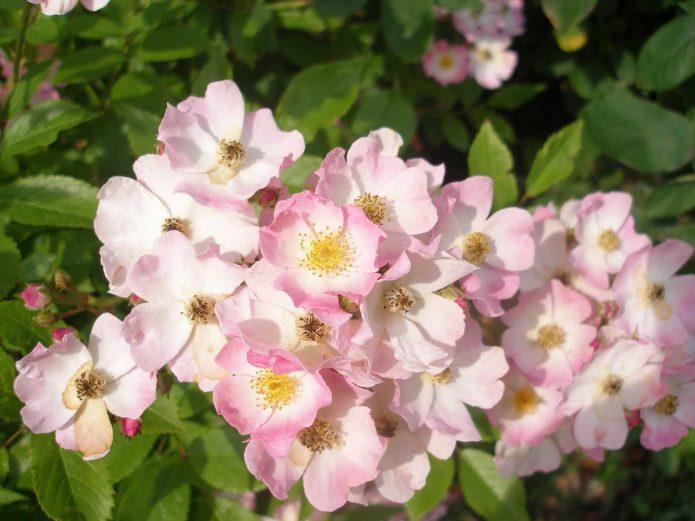 Сорт розы Ballerina