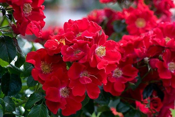 Сорт розы Bassino