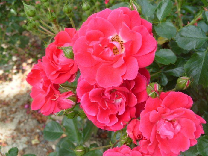Сорт розы Fiona