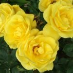 Сорт розы Friesia