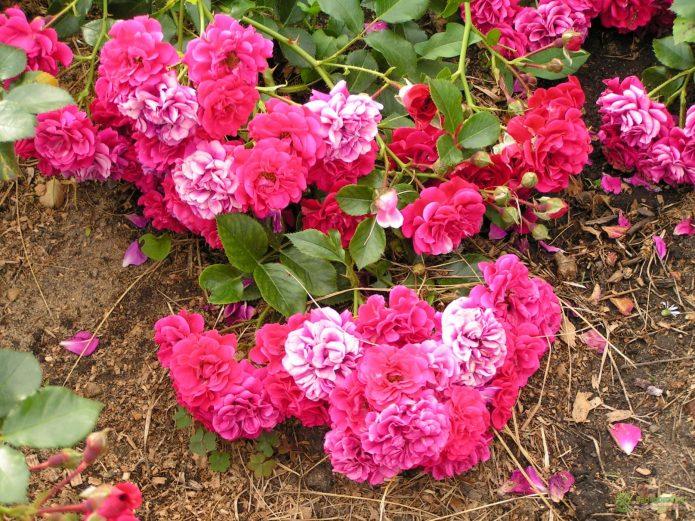 Сорт розы Hello