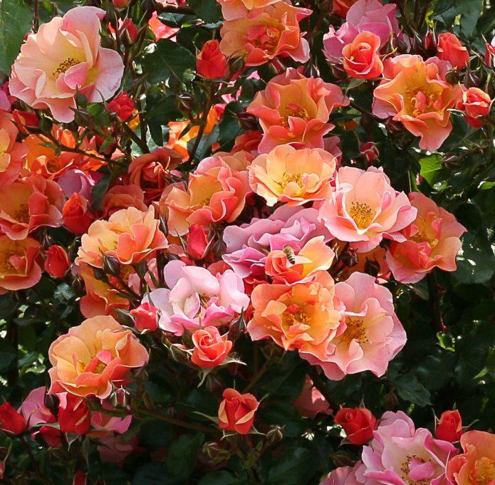 Сорт розы Jazz